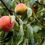 Organic fresh ripe peach on tree — Stock Photo