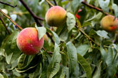 Organic fresh ripe peach on tree — ストック写真