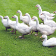 Stock Photo: White gooses party on green grass