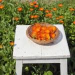Calendula medical herb harvest — Stock Photo
