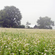 Summer morning buckwheat field and mist — Stock Photo