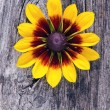 Rudbeckiflower on old wooden board background — Stok Fotoğraf #12117357