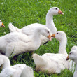 Stock Photo: White domestic gooses on green grass