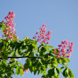 Conker tree blossoms and sky — Stock Photo