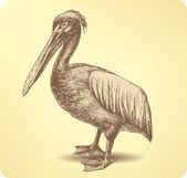 Pelican Bird, hand drawing. Vector illustration. — Stock Vector