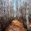 Stock Photo: Track in birch grove