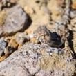 Foto Stock: Portrait of lizard on stone in desert
