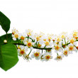 Stock Photo: Bird-cherry tree