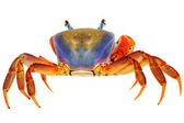 Crab on white — Stock Photo