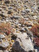 Lizard on stone in desert — Stock Photo