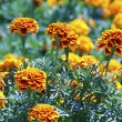 Tagetes flower on a bed — Stock Photo