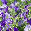 Stock Photo: Petuniflower beds of white and purple