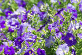Petunia flower beds of white and purple — Stock Photo
