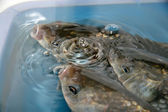 Crucian carp swimming in a pool — Stock Photo