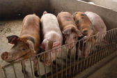 Pigs in a pigsty in a farm — Stock Photo