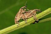 Dos apareamiento gorgojo en hoja verde en la naturaleza — Foto de Stock