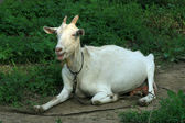 Closeup Goat — Stock Photo