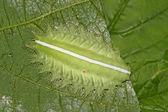 鳞翅目 — 图库照片