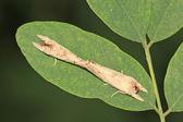 Clostera anachoreta — Stock Photo