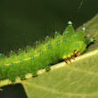 Green insects larvae — Stock Photo #12369412