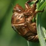Постер, плакат: Cicada shell