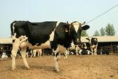 Cows in a farm — Foto de Stock