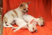 Pet dog — Stockfoto