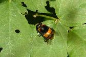 Syrphidae owady — Zdjęcie stockowe