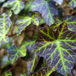 Stock Photo: Leaves of Ivy