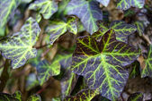 Leaves of Ivy — Stock Photo