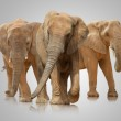 Постер, плакат: Small Group Of Elephant Walking