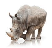 Retrato de um rinoceronte — Foto Stock
