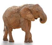 Portrait Of An Elephant Walking — Stock Photo