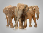 Small Group Of Elephant Walking — Stock Photo