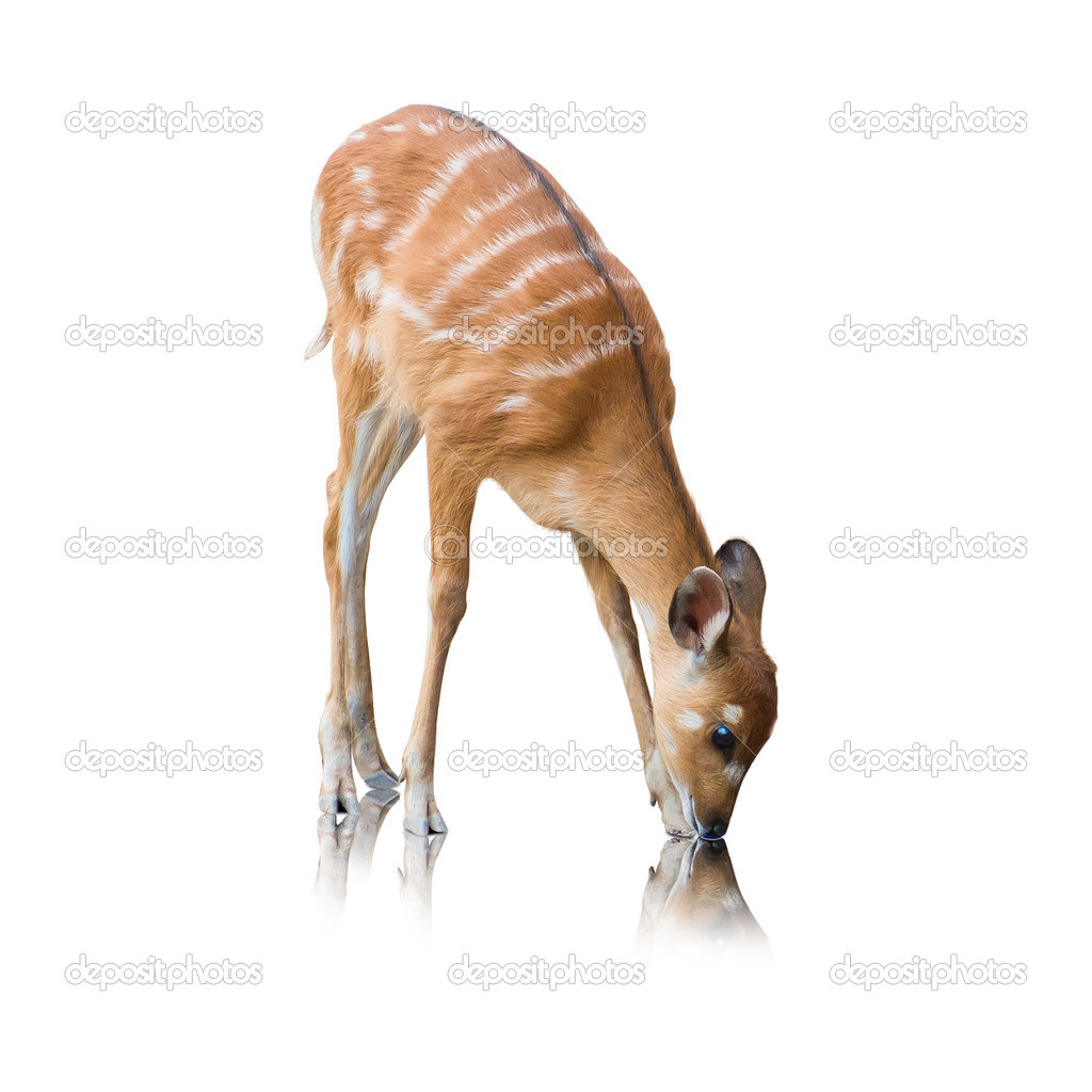 Portrait Of A Deer On White Background — Stock Photo #11658699