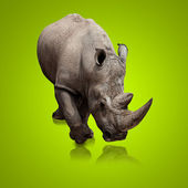 Portrait Of A Gray Rhinoceros — Stock Photo