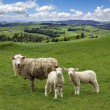 Stock Photo: sheep and wo lambs grazing on the picturesque landscape backgrou