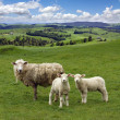 sheep and wo lambs grazing on the picturesque landscape backgrou — Stock Photo