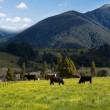 Picturesque summer mountains landscape grazing cows — Stock Photo