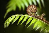 Yeni zelanda ikonik fern koru — Stok fotoğraf