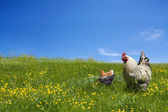 Chickens and cock on the green meadow — Stock Photo