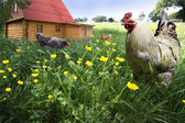 Free Range chickens — Stock Photo