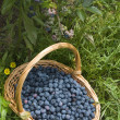 Stock Photo: Blueberry bush blueberries basket