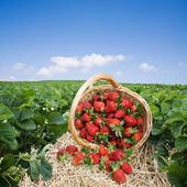 Strawberries in the basket on the field — Stockfoto