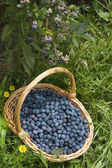 Blueberry bush blueberries basket — Stock Photo