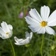 Stock Photo: Cosmos Flowers