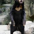 Black Bear in Zoo — Stock Photo #11742809