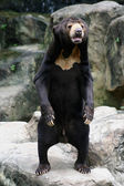 Black Bear in Zoo — Stock Photo