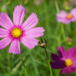Cosmos Flowers — Stock Photo #11847191