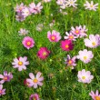 Cosmos Flowers — Stock Photo #11847331